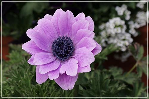 バボニナ 薄紫