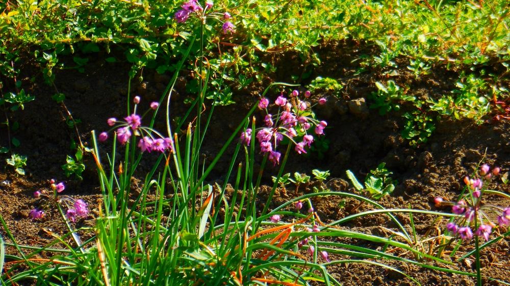 DSCN7598らっきょうの花