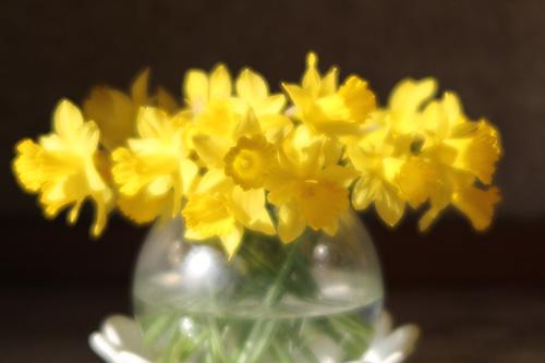 散っちゃい水仙、春ですねー