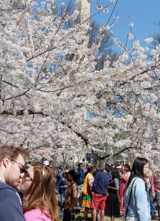 ワシントン桜