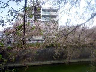 20150412目黒川(その5)