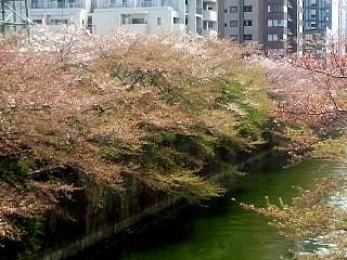 20150412目黒川(その7)