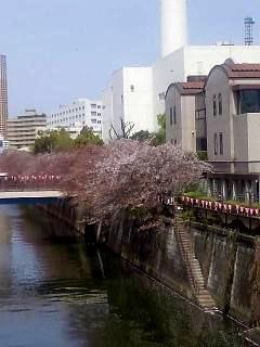 20150412目黒川(その8)