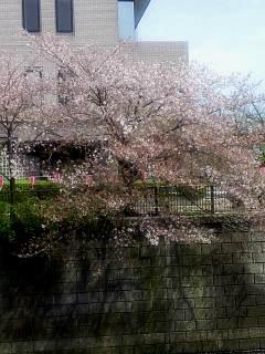 20150412目黒川(その11)
