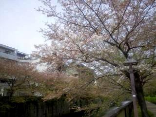 20150412目黒川(その17)
