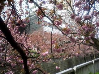 20150412目黒川(その24)