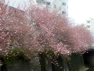 20150412目黒川(その26)