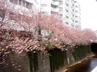 20150412目黒川(その27)