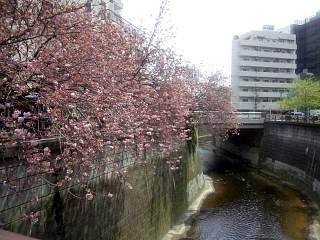 20150412目黒川(その35)