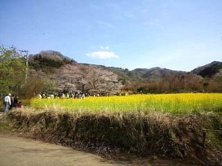 20150418花見山(その3)