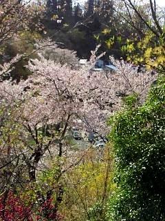 20150418花見山(その11)