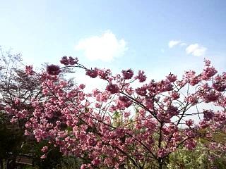 20150418花見山(その26)