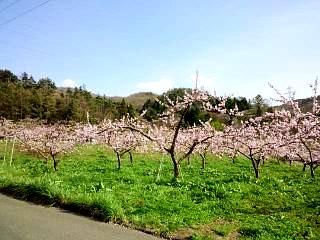 20150418花見山(その29)