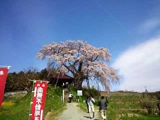 20150419不動桜(その3)