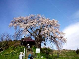 20150419不動桜(その5)