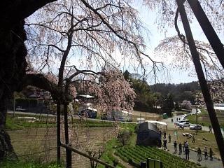 20150419不動桜(その10)