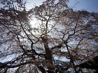 20150419不動桜(その12)