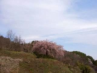 20150419紅枝垂地蔵桜(その1)