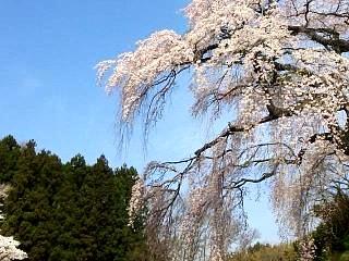 20150419紅枝垂地蔵桜(その2)