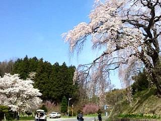 20150419紅枝垂地蔵桜(その3)