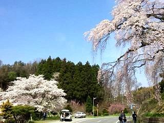 20150419紅枝垂地蔵桜(その4)
