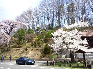 20150419紅枝垂地蔵桜(その5)