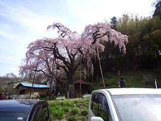 20150419紅枝垂地蔵桜(その20)