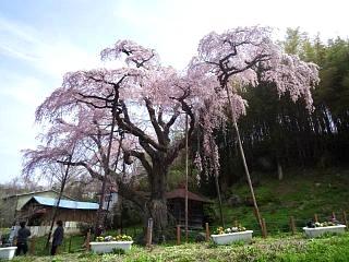 20150419紅枝垂地蔵桜(その21)