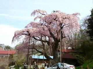 20150419紅枝垂地蔵桜(その22)