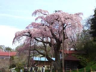 20150419紅枝垂地蔵桜(その23)