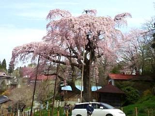 20150419紅枝垂地蔵桜(その24)