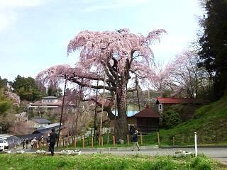 20150419紅枝垂地蔵桜(その25)