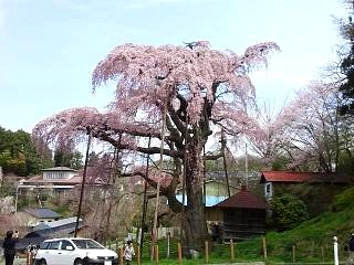 20150419紅枝垂地蔵桜(その26)
