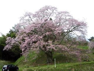 20150419是哉寺地蔵桜(その5)