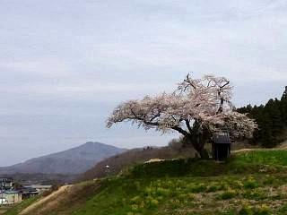 20150419小沢の桜(その2)