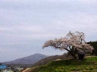 20150419小沢の桜(その5)