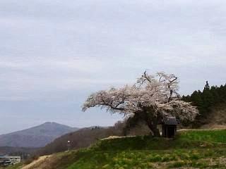 20150419小沢の桜(その7)