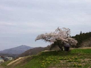 20150419小沢の桜(その8)
