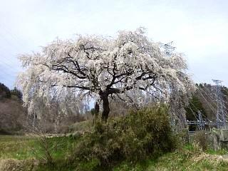 20150419妙典桜(その1)
