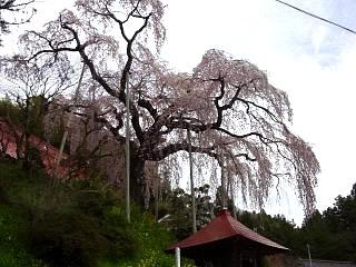 20150419妙典桜(その2)