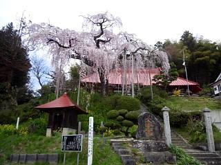 20150419妙典桜(その4)