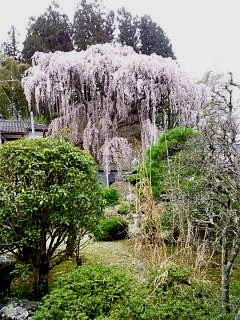 20150419福聚寺の桜(その6)
