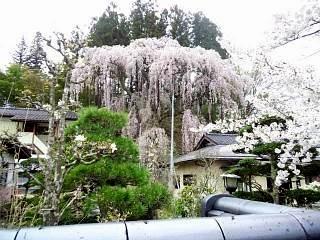 20150419福聚寺の桜(その10)