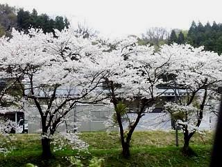 20150419福聚寺の桜(その14)