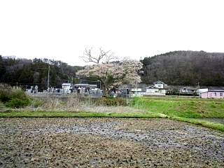 20150419夏井の千本桜1(その9)