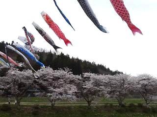20150419夏井の千本桜1(その13)