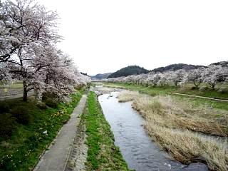 20150419夏井の千本桜1(その15)