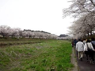 20150419夏井千本桜2(その28)