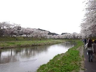 20150419夏井千本桜2(その29)