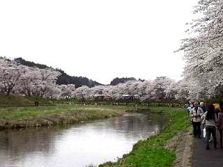 20150419夏井千本桜2(その31)